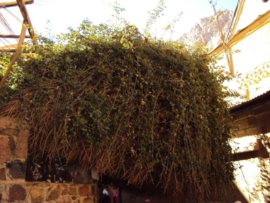 An overgrown Burning Bush