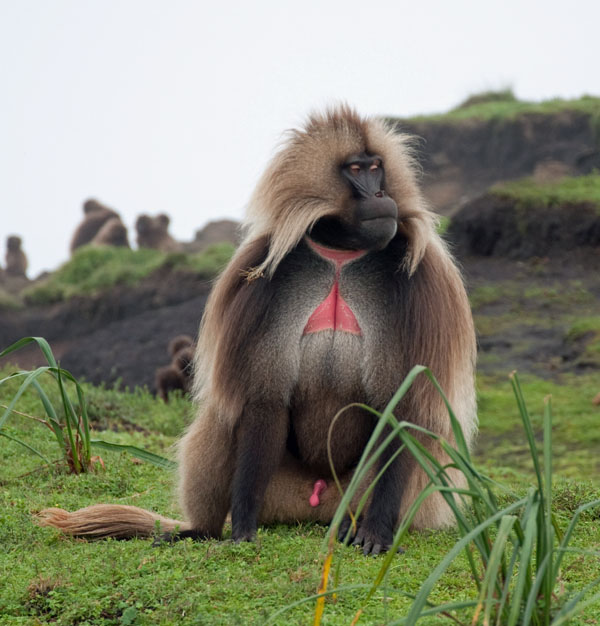Alpha Male -- One of the famous Grass-eating Baboons, Simian Mountains, Ethiopia