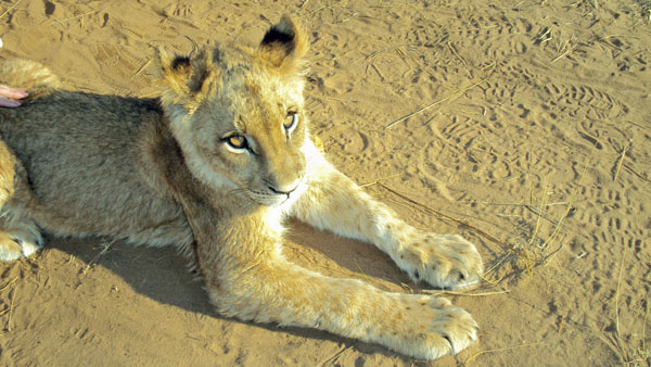 Beautiful Lion Cub