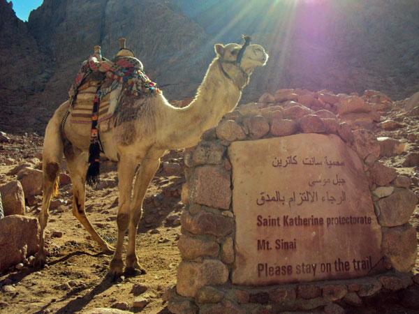 Camel-Mt-Sinai,-photo-by-Go