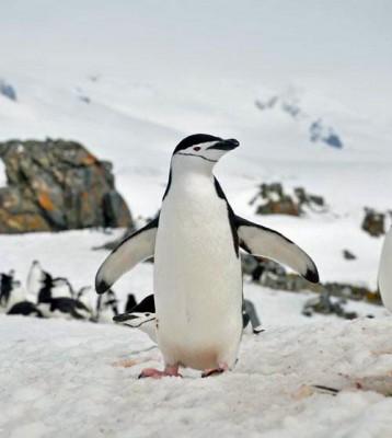 Chinstrap Penguin, Antarctica