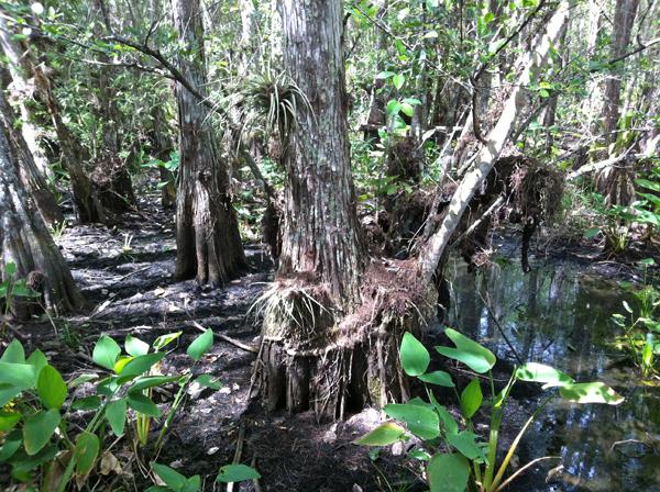 Corkscrew Swamp, photo by GoErinGo