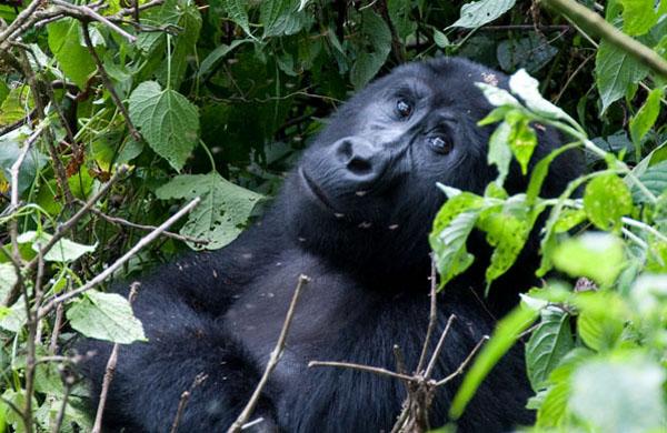 Eye-Contact witih the gorillas, photo by GoErinGo
