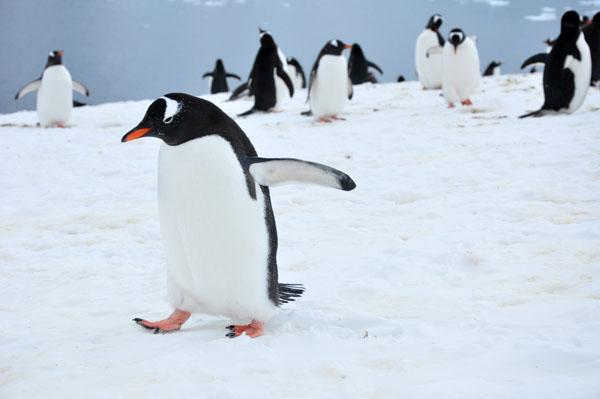 Gentoo Penguin Walking Forward, photo by GoErinGo