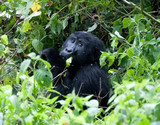 Gorilla Spotting