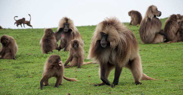 Grass-eating Baboons, Ethiopia