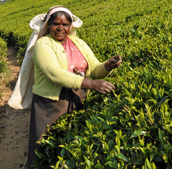 Cooperative tea picker at a tea plantation in Nuwara Eliya, Sri Lanka