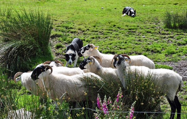 Irish Sheep Dogs, working hard!