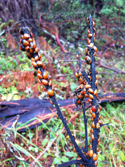 Ladybugs on a stick, photo bo Go Erin Go