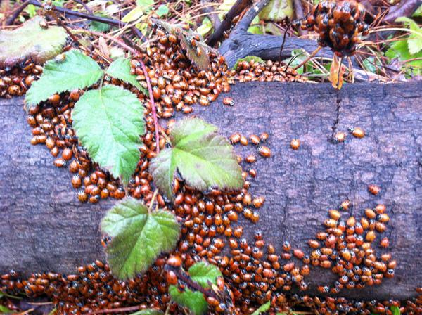 Ladybugs on log, photo by Go Erin Go
