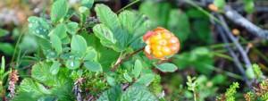 Lone Cloudberry