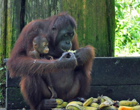 Mama and Baby Orangutan, photo by Go Erin Go