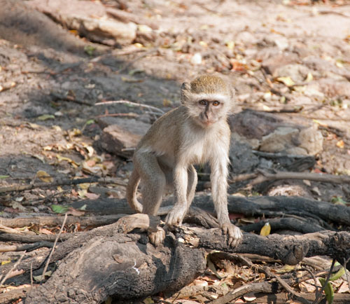 Mischievous monkey in Chobe National Park, Botswana