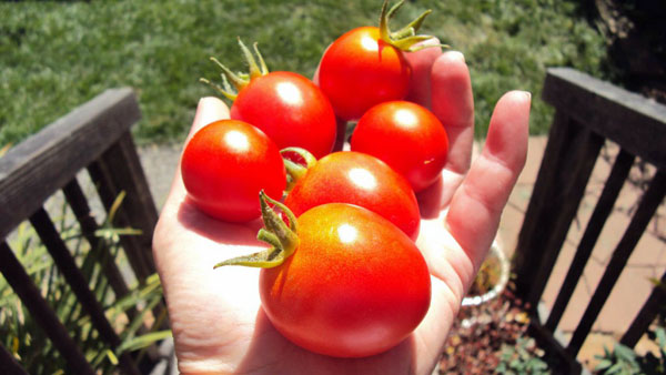 More Tomatoes photo by GoErinGo