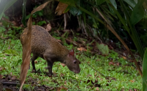 Do you know what animal this is? a Nutria! Found in Central America