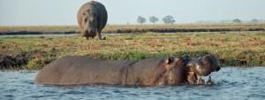 Open Wide Hippo, Ch D