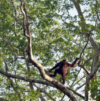 Orangutan in the wild, Borneo