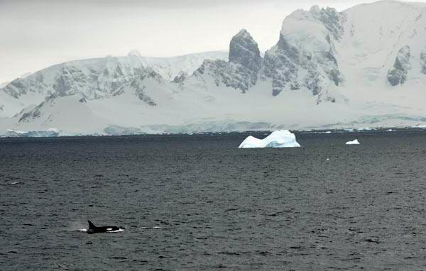 Orcas in Antarctica