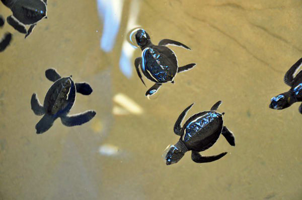 Sea Turtles, Sri Lanka photo by GoErinGo