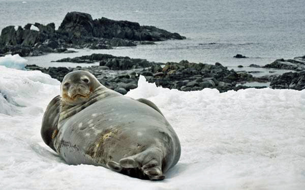 Seal in Antarctica