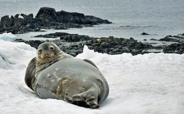 Seal-in-Antarctica-photo-by-GoErinGo