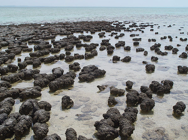 Stromatolites_in_Sharkbay