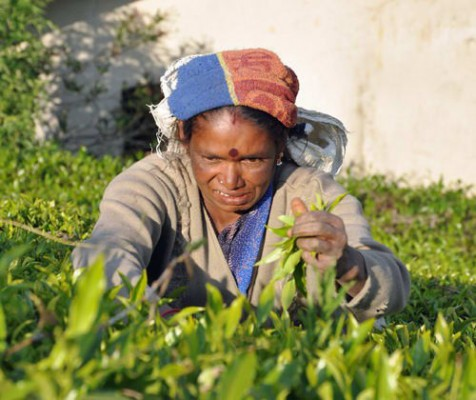 Tea Picker in Sri Lankan Hill Country