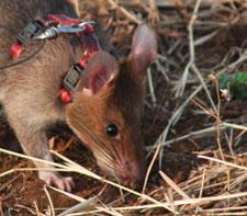 Ziko the Rat