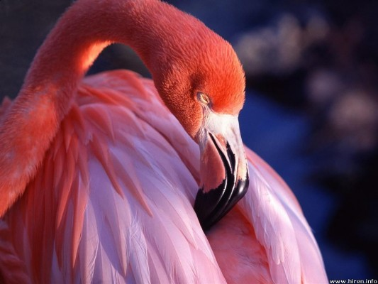 flamingo hiren photo