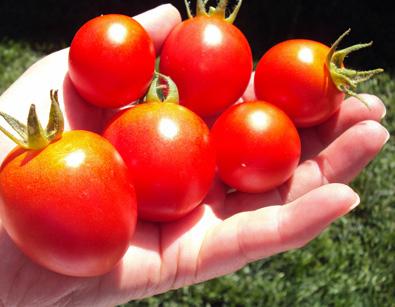CA_Tomatoes
